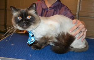 Coconut is a Ragdoll. She had her fur shaved down, ears cleaned and a full set of Glitter Blue Softpaw nail caps. — at Kylies Cat Grooming Services