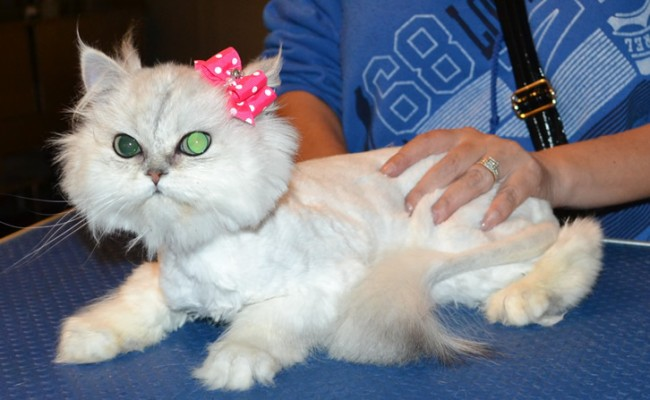 Chanel is a Chinchilla. She had her fur shaved down, nails clipped and ears cleaned. — at Kylies Cat Grooming Services.