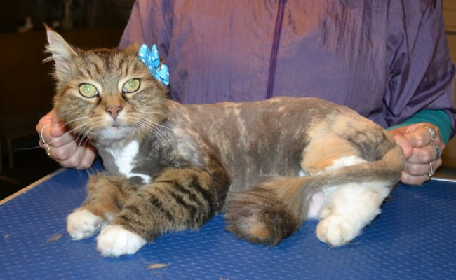 Billie is a Long hair Domestic. She had her fur shaved down, nails clipped, ears cleaned and a wash n blow dry. — at Kylies Cat Grooming Services.