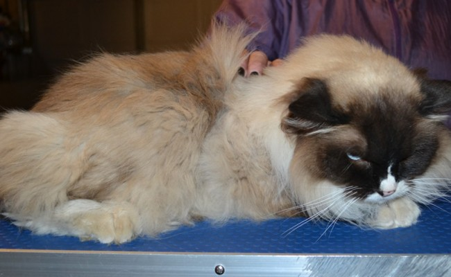 Gismo is a Ragdoll. He had his matted fur shaved off, nails clipped, ears cleaned and a wash n blow dry. — at Kylies Cat Grooming Services.