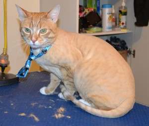 Tigga is a Short hair Domestic. He had his fur shaved off, nails clipped and ears cleaned. — at Kylies Cat Grooming Services.