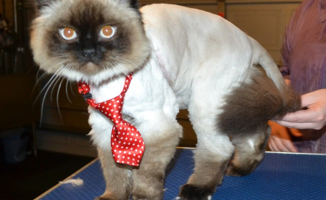 Lance is a Ragdoll. He had his matted fur shaved off, nails clipped and ears cleaned. — at Kylies Cat Grooming Services.