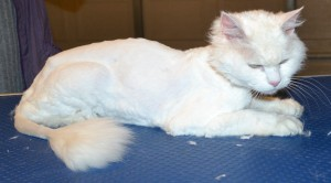 Missy is a 14 yr old Long hair Domestic. She had her matted fur shaved off, nails clipped, ears cleaned and a wash n blow dry. — at Kylies Cat Grooming Services.