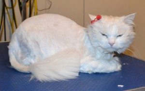 Mia is a Long Hair Domestic. She had her matted fur shaved off,nails clipped and ears cleaned. — at Kylies Cat Grooming Services.