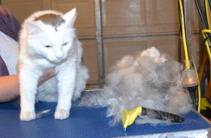 George is a medium hair Domestic. He had his fur raked, bum shaved, nails clipped, ears cleaned and a wash n blow dry. — at Kylies Cat Grooming Services.
