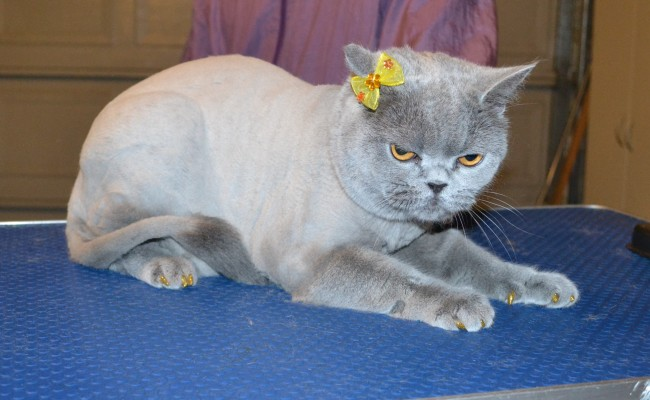 Alto is a British Short hair. She had her fur shaved down, nails clipped, ears cleaned, a wash n blow dry and a full set of Glitter Gold Softpaw nail caps. — at Kylies Cat Grooming Services.