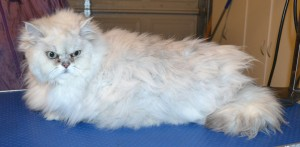 Yuki is a Burmilla. He had his matted fur shaved off, nails clipped and ears and eyes cleaned. — at Kylies Cat Grooming Services.