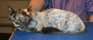Luna is a medium hair domestic. She had her fur shaved down, nails clipped and ears cleaned. — at Kylies Cat Grooming Services.