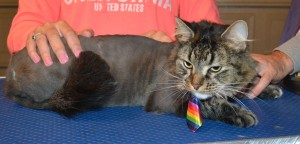 Dots is a Medium Hair tabby. he had his fur shaved down, nails clipped and ears cleaned. — at Kylies Cat Grooming Services.