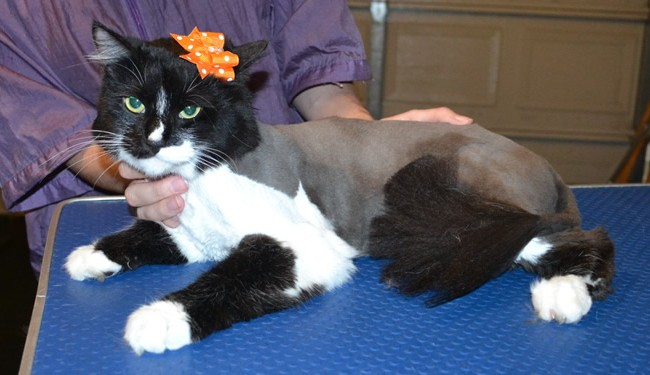 Ophelia is a Medium Hair Domestic. She had her fur shaved down, nails clipped and ears cleaned. — at Kylies Cat Grooming Services.