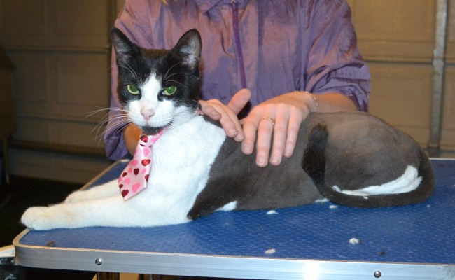 Dexter is a Short hair Domestic. He had his nails clipped, ears cleaned and his fur shaved down. — at Kylies Cat Grooming Services.