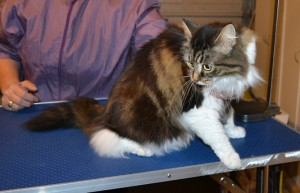 Poncho is a Long hair Domestic. She had her matted fur shaved off, nails clipped and ears cleaned. — at Kylies Cat Grooming Services.