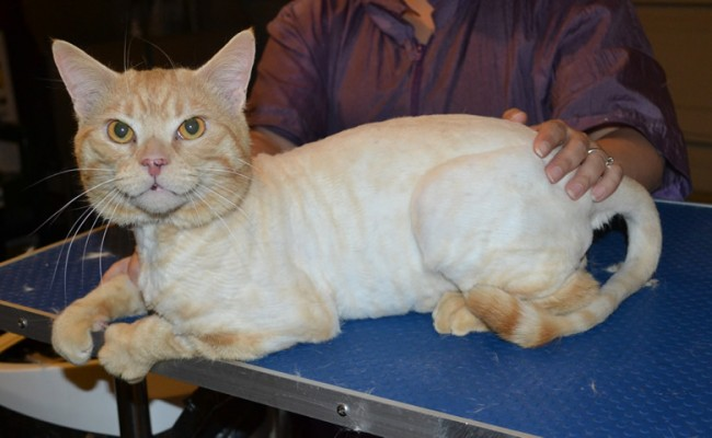 Nacho is a Short hair Domestic. He had his fur shaved down, nails clipped and ears cleaned. — at Kylies Cat Grooming Services.