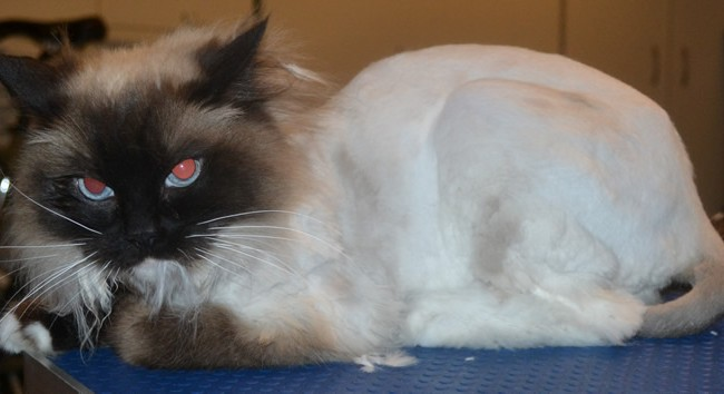 Lulu is a Ragdoll. She had her matted fur shaved off and nails clipped. She was one hell of a vicious cat.  It was a slow tuff start to get going, but finally got there. If only she let me do around her head. — at Kylies Cat Grooming Services.