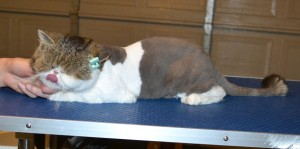 Dolly is a Blind Exotic Short Hair. She had her fur shaved down, nails clipped, ears cleaned and a wash n blow dry. — at Kylies Cat Grooming Services.