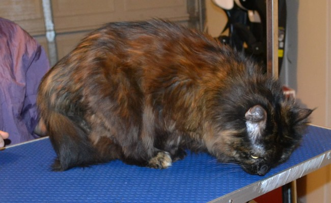 Lacie is a medium hair Domestic. She had her fur shaved down, nails clipped and ears cleaned. — at Kylies Cat Grooming Services.