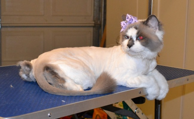 Bell is a Ragdoll. She had her fur shaved down, nails clipped, ears cleaned and a wash n blow dry. — at Kylies Cat Grooming Services.