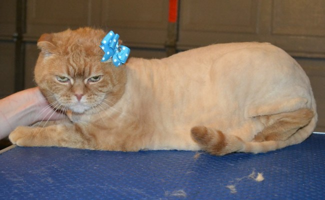Bella is a Scottish Fold. She had her fur shaved down, nails clipped, ears cleaned and a wash n blow dry. — at Kylies Cat Grooming Services.