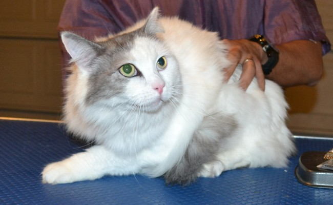Sunny is a Ragdoll x Chinchilla. He had his fur shaved down, nails clipped and ears cleaned. — at Kylies Cat Grooming Services
