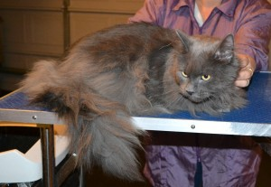 Toby is a Long Hair Russian Blue. He had his nails clipped, ears cleaned and his fur shaved down. — at Kylies Cat Grooming Services.