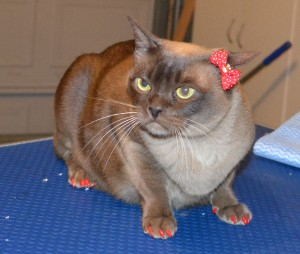 Zoe is a Burmese. She had her nails clipped and a full set of Softpaw nail caps put. — at Kylies Cat Grooming Services.