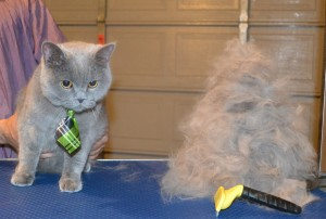 Oscar is a British Short hair. He had his nails clipped, ears cleaned and his fur raked. — at Kylies Cat Grooming Services.
