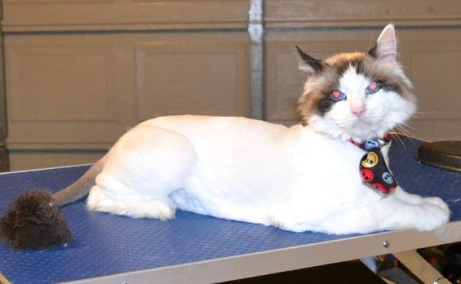 Bongo is a Ragdoll. H e had his fur shaved down, nails clipped, ears cleaned and a wash n blow dry. — at Kylies Cat Grooming Services.