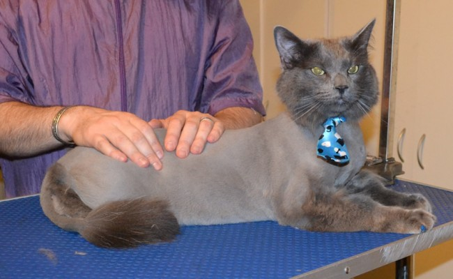 Archer is Part Ragdoll x British Short hair. He had his fur shaved down, nails clipped, ears cleaned and Blue Softpaw nail Caps put on. — at Kylies Cat Grooming Services.
