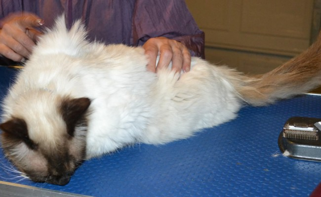 Bentley is a Ragdoll . He has his fur shaved down, nails clipped and ears cleaned. — at Kylies Cat Grooming Services.