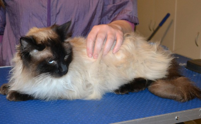 Charlie is a Ragdoll. He had his fur shaved down, nails clipped, ears cleaned and a wash n blow dry. — at Kylies Cat Grooming Services.