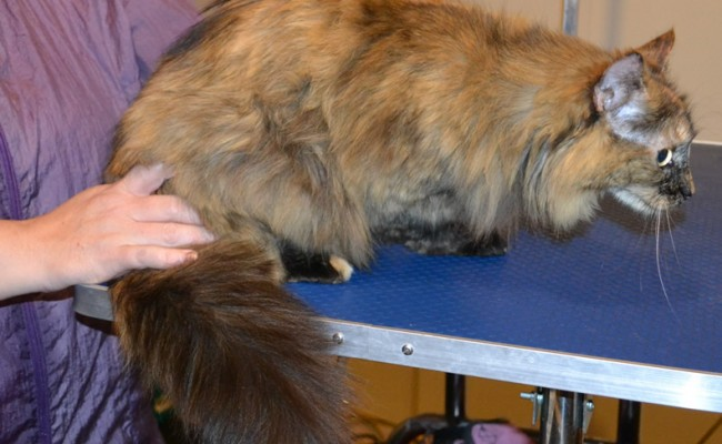 Simba is a Medium hair Domestic. She had her matted fur shaved down, nails clipped and ears cleaned. — at Kylies Cat Grooming Services.