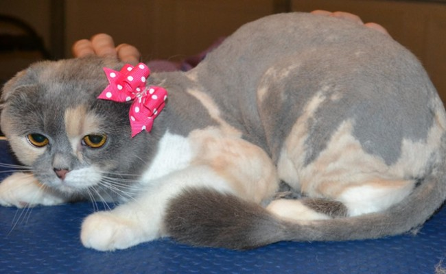 Bun is a Scottish Fold. She had her fur shaved down, nails clipped and ears cleaned. — at Kylies Cat Grooming Services.