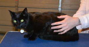 Suda is a Short Hair Domestic. He had his fur shaved down, nails clipped, ears cleaned and a wash n blow dry. — at Kylies Cat Grooming Services.