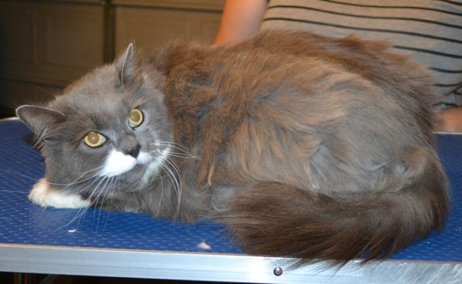Sox is a Long Hair Domestic. She had her matted fur shaved down, nails clipped, ears cleaned and a full set of Purple Softpaw nail caps put on. —  Kylies Cat Grooming Services.