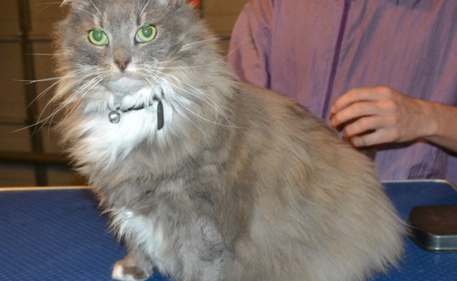 Sunday is a Mainecoone X. She had her fur shaved done, nails clipped and ears cleaned. — at Kylies Cat Grooming Services.