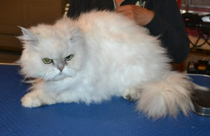 Romeo is a Persian. He had his fur shaved down, nails clipped and ears and eyes cleaned. — at Kylies Cat Grooming Services.