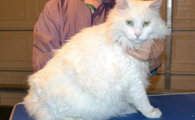 Mr T is a Big Long Hair Domestic. He had his matted fur shaved down, nails clipped, ears cleaned and a wash n blow dry. — at Kylies Cat Grooming Services.
