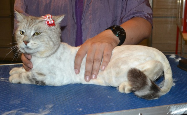 Damla is a Short Hair Domestic. She had her fur shaved down, nails clipped and ears cleaned. — at Kylies Cat Grooming Services.