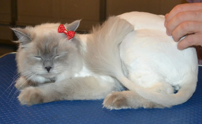 Belle is a Ragdoll. She had her fur shaved down, nails clipped and ears cleaned. — at Kylies Cat Grooming Services.