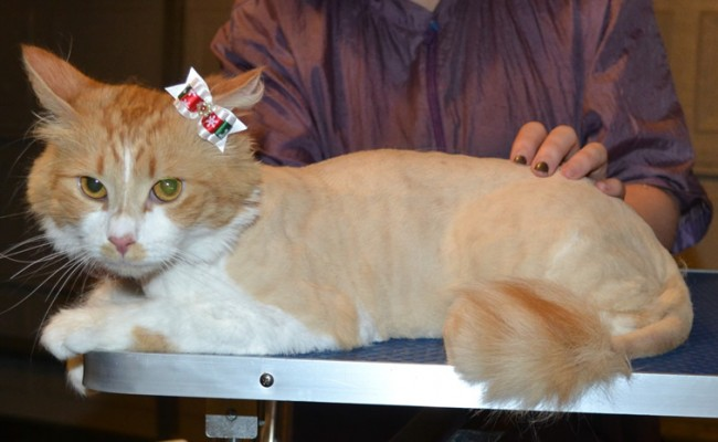Freyja is a Medium Hair Dom. She had her Fur shaved down, nails clipped and ears cleaned. — at Kylies Cat Grooming Services.