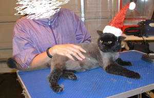 Middy is a old British Short Hair. He had his fur shaved down, nails clipped, ears cleaned and a wash n blow dry. — at Kylies Cat Grooming Services.