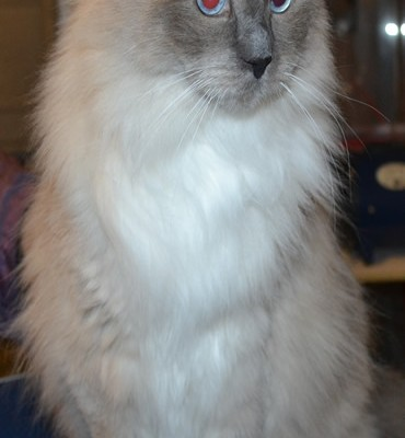 Emmett is a Ragdoll. He had his Fur shaved down, nails clipped and ears cleaned. — at Kylies Cat Grooming Services.
