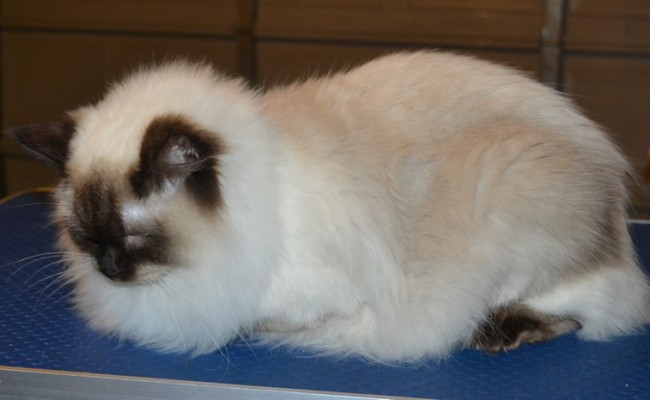 Coco is a Ragdoll. She had her fur shaved down, nails clipped and ears cleaned. — at Kylies Cat Grooming Services.