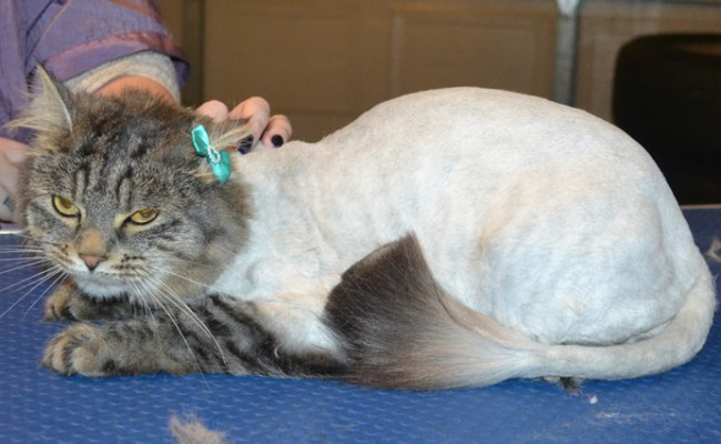 Memphis is a Long Hair Domestic. She had her fur shaved down, nails clipped and ears cleaned. — at Kylies Cat Grooming Services.