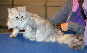 Momo is a Chinchilla. She had her fur shaved down, nails clipped and ears cleaned. — at Kylies Cat Grooming Services.