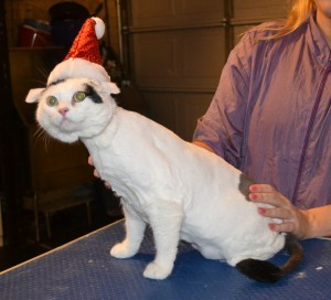 Bessie is s Short Hair Domestic. She had her fur shaved down, nails clipped, ears cleaned and a wash n blow dry. — at Kylies Cat Grooming Services.