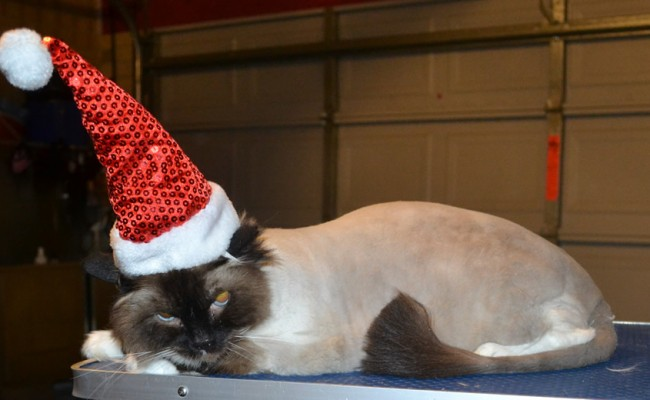 Milo is a Ragdoll. She had her fur shaved down, nails clipped, ears cleaned and a wash n blow dry. — at Kylies Cat Grooming Services.