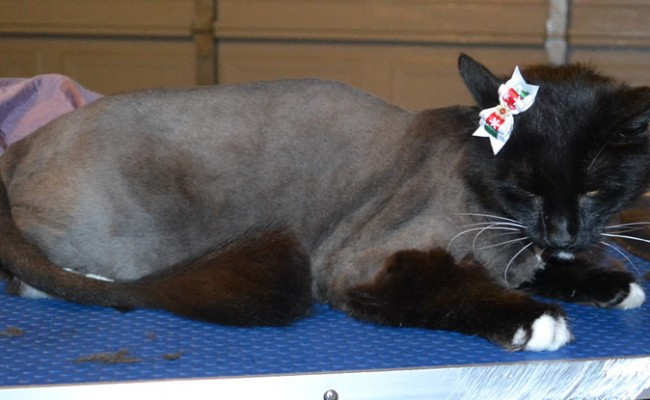 Lola is a Long Hair Domestic. She had her fur shaved down, nails clipped and ears cleaned. — at Kylies Cat Grooming Services.