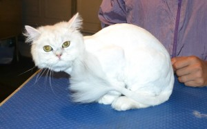Harvey is a Chinchilla. He had his fur shaved down, nails clipped and ears cleaned. — at Kylies Cat Grooming Services.