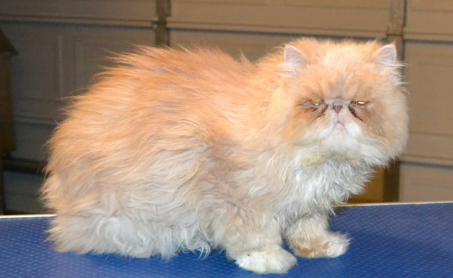 Winthorpe is a Chinchilla Persian. He had his matted fur shaved off, nails clipped, ears and eyes cleaned and a wash n blow dry. — at Kylies Cat Grooming Services.